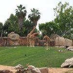 bioparc con jirafas 150x150 - ¡Visitamos el Bioparc Valencia con niños!