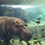 bioparc hipopotamo agua 150x150 - ¡Visitamos el Bioparc Valencia con niños!