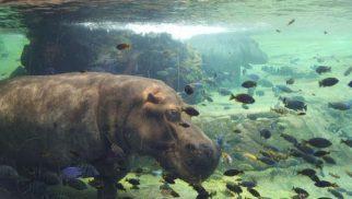 bioparc hipopotamo agua
