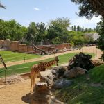 bioparc jirafa 150x150 - ¡Visitamos el Bioparc Valencia con niños!