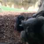 bioparc orangutan tumbado 150x150 - ¡Visitamos el Bioparc Valencia con niños!