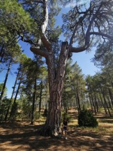 pino candeLABRO 225x300 - Las Lagunas de Cañada del Hoyo con niños y otras rutas imprescindibles